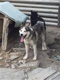 Husky Siberian 100% (M)