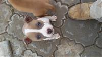American staford pit bul