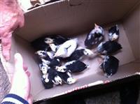 shesim zogj piklana dhe pula klluqe piklajka