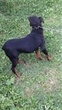 Minejka terrier