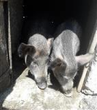 Prodajem divlje svinje u paru i pilice