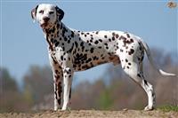 Shes qenin Dalmatin