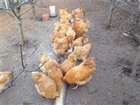 Shesim veze dhe zogj raca Orpington