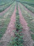 fidane mjedres