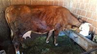 lop lopë qumshtore 18 litra qumsht me grancion
