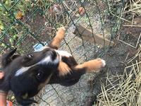 Terrier 2 muajsh mashkull orginal