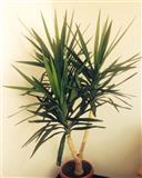 lule palma
