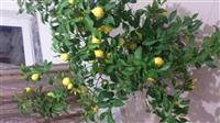 Limon ne shitje