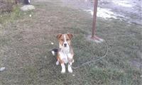 bubi  terrier