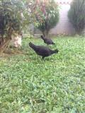 pula dhe zogza ne shitje
