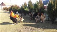 shiten pulat