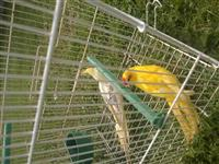 Papagallat