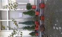 Drunje dekorativ