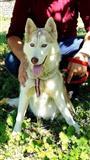 Husky (Haski)