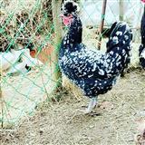 Shesim pula piklajka gjindemi ne Vushtrri