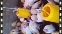 Fati Farm ben shitje e qurave