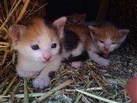 Jepen macat falas per adoptim