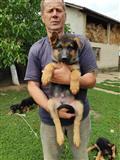 German Shepherd dog for sale!!!