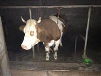 Ferma e lopve ne Glloboqic